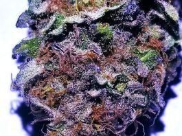 Wedding Cake - cannabis strain | CannaMaps