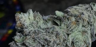 Mimosa | Cannabis Strain