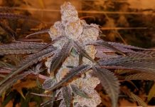 picture of Purple Punch 2.0 cannabis strain