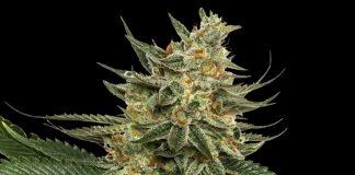 Tangie | Cannabis Strain