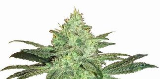 image of gorilla glue #4 cannabis strain