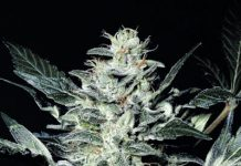 photo of Sensi Star cannabis strain