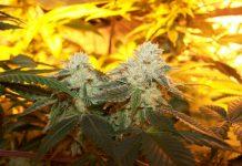 Gelato #33 - cannabis strain