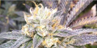 Zkittlez - Cannabis Strain
